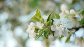 Blooming apple tree in the garden at dawn on a spring morning. Close-up of white apple blossoms in the spring morning at sunrise stock video