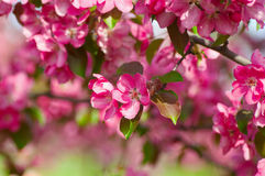 Blooming apple tree in the garden Royalty Free Stock Photo