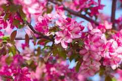 Blooming apple tree in the garden Stock Image