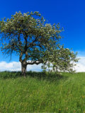 Blooming apple tree on green meadow Royalty Free Stock Image