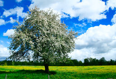Blooming apple tree in a green meedow. Sweedish countryside landscape. An apple tree grew in a garden many years ago, but now the garden is gone, and it's left Stock Images