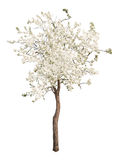 White color isolated blooming apple tree Stock Images