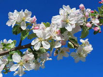 Blooming apple tree, Lithuania Stock Image