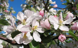 Blooming apple tree, Lithuania Royalty Free Stock Photography