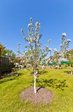 Blooming apple-tree (Malus Beliy Naliv) Stock Photo