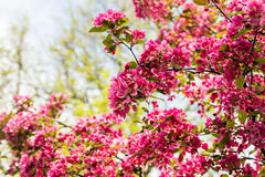Blooming Apple tree Malus 'Royal beauty' Royalty Free Stock Image