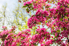Blooming Apple tree Malus 'Royal beauty' Stock Images