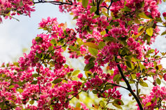 Blooming Apple tree Malus 'Royal beauty'. Beautiful red pink and purple flowers of crab apple tree, with the botanical name of Malus purpurea Eleyi. Shallow Stock Photo