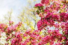 Blooming Apple tree Malus 'Royal beauty'. Beautiful red pink and purple flowers of crab apple tree, with the botanical name of Malus purpurea Eleyi. Shallow Royalty Free Stock Image