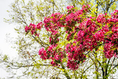 Blooming Apple tree Malus 'Royal beauty'. Beautiful red pink and purple flowers of crab apple tree, with the botanical name of Malus purpurea Eleyi. Shallow Royalty Free Stock Photos