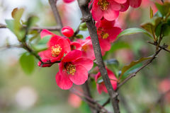 Blooming Apple tree Malus 'Royal beauty' Royalty Free Stock Images