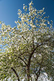 Blooming apple tree. In may day royalty free stock photo
