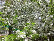 Blooming apple tree. Apple tree blooming in may in Pyatigorsk Royalty Free Stock Images