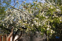 Blooming apple tree in may, white flowers Stock Photos