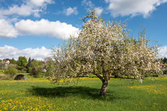 Blooming apple tree in a meadow Stock Photography