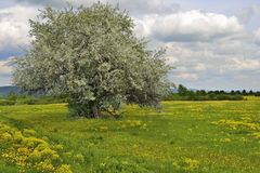 Blooming apple tree in the meadow among yellow flowers Royalty Free Stock Image