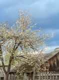 Blooming apple tree near old farmhouse Stock Image
