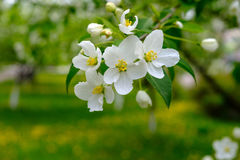 Blooming Apple tree. In an Apple orchard, a sprig of Apple Royalty Free Stock Photos