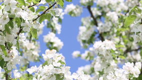 Blooming apple tree stock footage