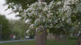 Blooming apple-tree in the park. Apple tree blossom in foreground and people walking in the park in background. Spring season stock video footage