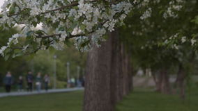 Blooming apple tree and people in park. Blooming apple tree branches in foreground and people walking along the path in the park in background. Spring time stock footage