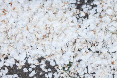Blooming apple tree petals on the ground Royalty Free Stock Photography