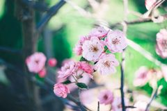 Blooming apple tree pink. The concept of spring and awakening. royalty free stock images