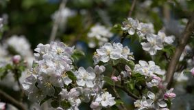 Blooming apple tree 1 Royalty Free Stock Photos