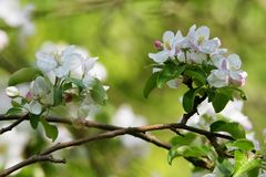 Blooming apple tree 2 Royalty Free Stock Images