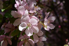 Blooming apple tree with pink flowers. Malus Niedzwetzkyana Royalty Free Stock Photo