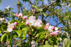 Blooming apple tree. Royalty Free Stock Photos