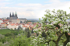 The blooming apple tree in Prague Stock Photography
