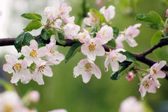 Blooming apple tree after the rain, pink flowers and leaves are covered with water drops, summer time Stock Images
