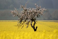 A Blooming apple tree in a rape field Stock Photography