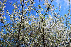 Blooming Apple Tree. In Russia stock photo