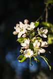 Blooming apple tree. In spring Royalty Free Stock Photo