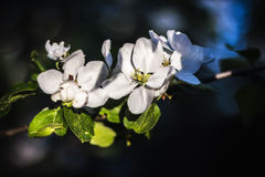 Blooming apple tree. In spring Royalty Free Stock Photography