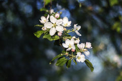 Blooming apple tree. In spring Stock Image