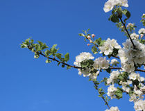 Blooming apple tree Stock Photos