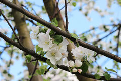 Blooming apple tree Stock Images