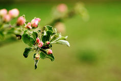 Blooming apple tree. Spring background. Royalty Free Stock Images