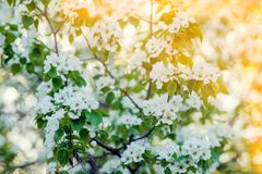Blooming Apple Tree Spring Background Of Trees Floral Texture
