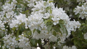 Blooming apple tree in spring. Branch of blooming apple tree waving in the wind. Spring blossom stock video