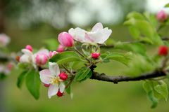 Blooming apple tree in spring. Close up of an apple tree pink blossoms in spring royalty free stock image