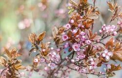 Blooming apple tree. Spring flowering apple tree, close-up Royalty Free Stock Image