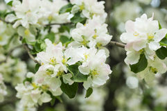 Blooming apple tree in spring garden Stock Photos