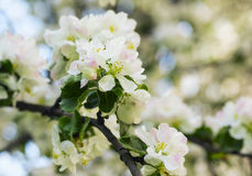 Blooming apple tree in spring garden Stock Images
