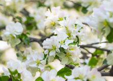 Blooming apple tree in spring garden Stock Photo