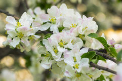 Blooming apple tree in spring garden Royalty Free Stock Photos