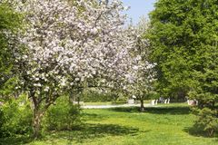 Blooming  Apple Tree  in a Spring Garden Royalty Free Stock Photography
